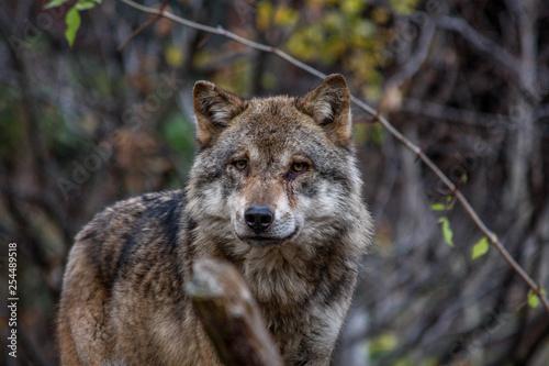Fotografiet  Wolf