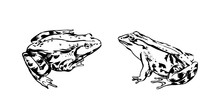 Hand Drawn Frogs. Vector Sketc...