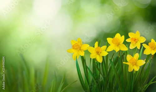 Photo Nature Spring Background with blooming daffodil flowers