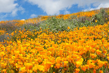 California Golden Poppy And Goldfields Blooming In Walker Canyon, Lake Elsinore, CA. USA. Bright Orange Poppy Flowers During California Desert Super Bloom Spring Season.