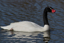 Black Necked Swan (Cygnus Melancoryphus) Swimming On A Pond At Slimbridge In Gloucestershire, United Kingdom.