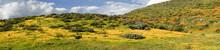 Panoramic Of Mountain With California Golden Poppy And Goldfields Blooming In Walker Canyon, Lake Elsinore, CA. USA. Bright Orange Poppy Flowers During California Desert Super Bloom Spring Season.