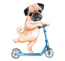 Cute Puppy Pug  On A Scooter I...