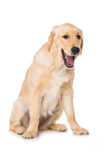 Yawning Golden Retriever Dog Isolated On White Background