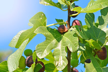 A Branch Of Fig Tree. As Figs ...