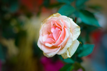 Pink And White Rose Flower Selective Focus Photography