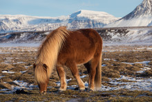 One Brown Icelandic Horse. The Icelandic Horse Is A Breed Of Horse Developed In Iceland. A Group Of Icelandic Ponies In The Pasture With Mountains In The Background