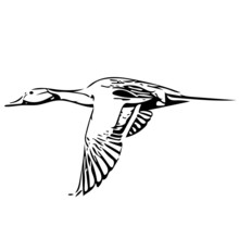Pintail Duck - Drake