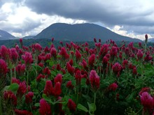 Red Wheat Celosia Flower Field Across Mountain At Daytime