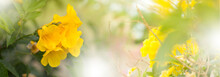 Yellow Elder, Trumpetbush, Trumpetflower, Yellow Trumpet-flower, Yellow Trumpetbush
