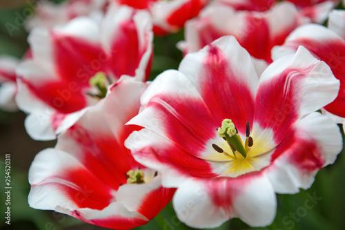 Zbliżenie blisko wiązanych biało-różowe tulipany. Wielkanocny tło.