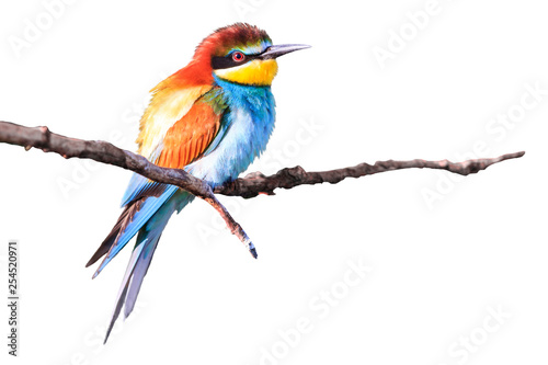 Fotografie, Obraz  beautiful bee-eater is isolated on white background