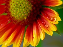 Yellow And Red Sunflower With Water Dew
