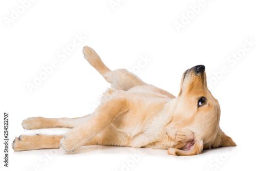Six months old golden retriever dog lying on black background isolated on white Fototapeta