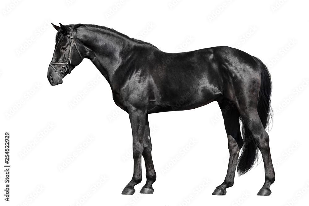 Czarny koń zewnętrzny na białym tle