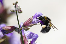 Black And Yellow Wasp On Purple Flower