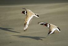 Hooded Plover - Thinornis Cucullatus Small Shorebird - Wader -on The Sandy Beach Of Australia, Tasmania