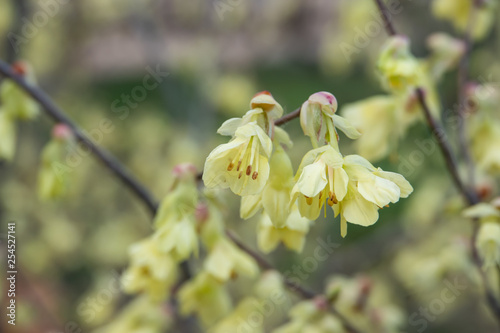 Buttercup Witch Hazel Flowers In Bloom In Winter Buy This Stock