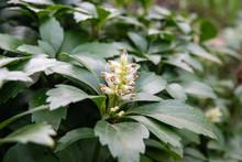 Japanese Pachysandra Flowers I...