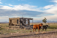 Two Cows In Rural Arizona, Wit...