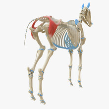 3d Rendered Medically Accurate Illustration Of The Equine Muscle Anatomy - Gluteus Superficialis