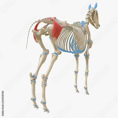 Obraz na plátně 3d rendered medically accurate illustration of the equine muscle anatomy - Glute