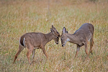 Two Young White Tailed Bucks Play Fighting In Cades Cove.