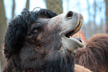 Camel Head Closeup. Camel Open...