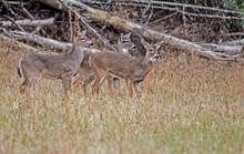 Three Young White Tailed Bucks...