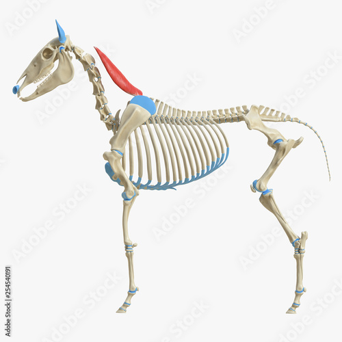 Fototapeta 3d rendered medically accurate illustration of the equine muscle anatomy - Rhomboideus Cervicis obraz