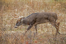 White Tailed Deer Buck With He...
