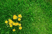 Yellow Dandelions And Green Gr...