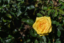 One Single Blooming Yellow Rose And Background Of Green Leaves.