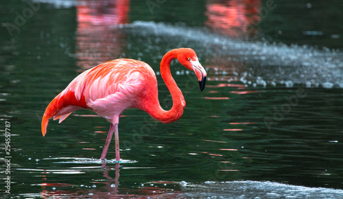 Photo Stands Flamingo A Caribbean flamingo (also called American flamingo, Phoenicopterus ruber) wading in a pond.