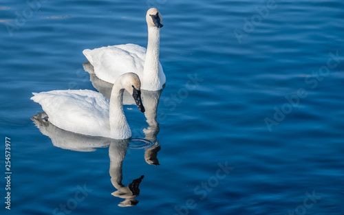 Cadres-photo bureau Cygne Swans are playing in open water of a lake at early spring time