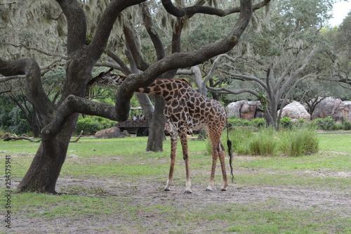 Photo  Giraffe next to a tree