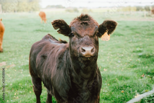 Vache limousin qui regarde face à la caméra dans un champs Wallpaper Mural