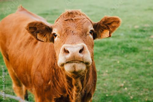Vache limousin qui regarde face à la caméra dans un champs Fotobehang