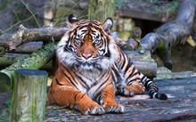 A Sumatran Tiger (Panthera Tig...