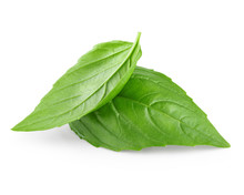 Two Leaf Of Basil