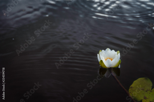 Foto  A white water lily flower floats peacefully on a calm surface of a lake