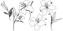 Vector Lily Floral Botanical F...