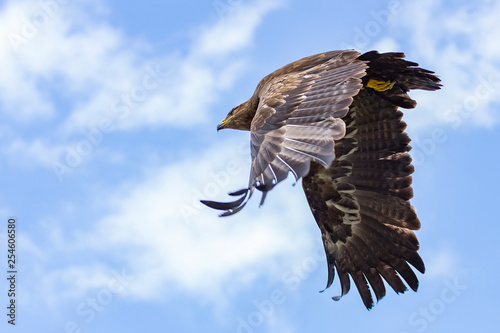 A steppe eagle with its mighty wings in full flight Wallpaper Mural