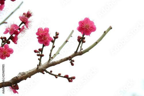Keuken foto achterwand Kersenbloesem 활짝 핀 봄 매화, 만개한 매화꽃, 봄을 알리는 매화