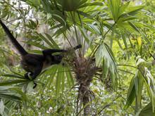 Spider Monkey, Ateles Geoffroy...