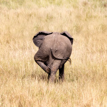 Rear End Of A Comical Baby Elephant Scratching His Leg