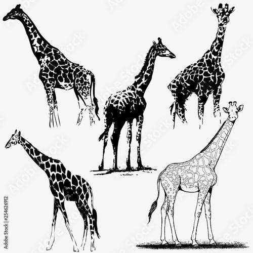 Kolekcja sylwetka żyrafa. Ilustracji wektorowych