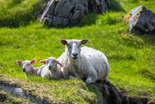Mother And Two Baby Sheep Lying On A Grass