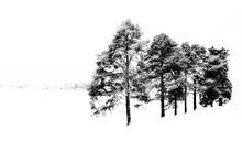 Pines And Snow Like Ferapontov...