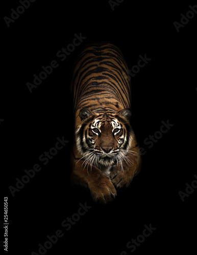 In de dag Tijger bengal tiger in the dark